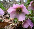 Lenten Rose (Helleborus orientalis) - Flickr - Jay Sturner (3).jpg
