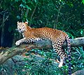 Leopard From Singapore Zoo-2.jpg