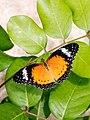 Leopard Lacewing (26680112028).jpg