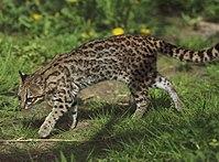 Leopardus tigrinus - Parc des Félins