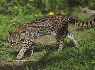 Leopardus - Image: Leopardus tigrinus Parc des Félins