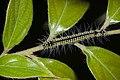 Lepidoptera (34212711461).jpg