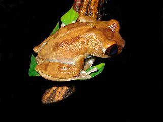 Uluguru forest tree frog species of amphibian