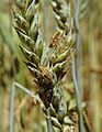 Les Plantes Cultivades. Cereals. Imatge 276.jpg