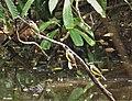 Lesser Kiskadees (Pitangus lictor) (41364563140).jpg