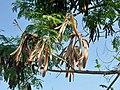 Leucaena leucocephala-frutos.jpg