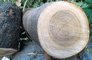 Leucaena leucocephala - Leucaena leucocephala's wood and bark