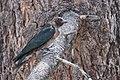 Lewis's Woodpecker (Juvenile) (15238411841).jpg