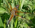 Libellula quadrimaculata (Libellulidae) (Four-spotted Chaser), Gameren, the Netherlands.jpg