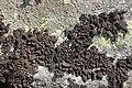 Lichen (30637508238).jpg