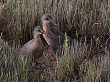 Light-Footed Ridgway's Rail- fledglings (19768274592).jpg