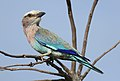 Lilac-breasted Roller, Coracias caudatus, at Elephant Sands Lodge, Botswana (32128584881).jpg
