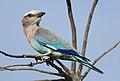 Lilac-breasted Roller, Coracias caudatus, at Elephant Sands Lodge, Botswana (32128584881).jpg