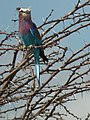Lilac breasted roller in Tanzania 0646 cropped Nevit.jpg