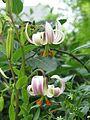 Lilium cf. ledebourei - Flickr - peganum (4).jpg