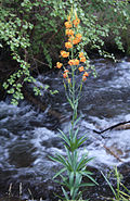 Lilium columbianum by creek.jpg