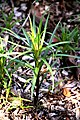 Lilium formosanum 01.jpg