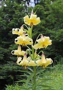 Endemic to Caucasus Lilium kesselringianum in habitat in Caucasian biosphere reserve.