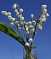 Lily of the Valley 135 365 (41409268724).jpg