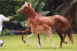 Peruvian Paso - The gaits of the Peruvian Paso are natural, as shown by this foal