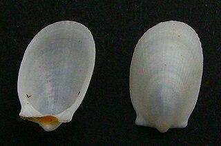 <i>Limatula maoria</i>
