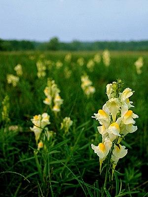 Linaria vulgaris - Linaria vulgaris in a meadow