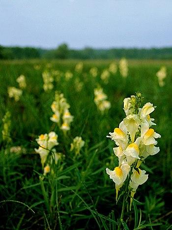 Wikijunior Summer Flowers Of Northern New England Linaria