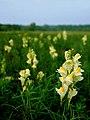 Linaria vulgaris.jpg