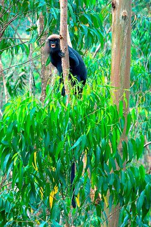 Vandiperiyar - Lion tailed Macaque at Vandiperiyar