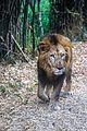 Lion bannerghatta GG.jpg