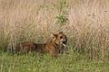 Lion cub - Queen Elizabeth National Park, Uganda (2).jpg