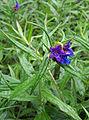 Lithospermum purpurocaeruleum a1.jpg