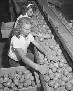 "Workers sorting pears, Bones & Son packinghouse, Littlerock 1946. Packers were promised an extra 25 cents for each ""wormy"" pear, but found only two in 27 tons of fruit.[۱]"