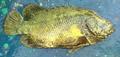 Lobotes surinamensis Pakistan.png