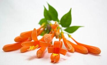 Long orange flowers in a lightbox.jpg