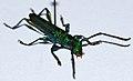 Longhorn Beetle (Phrosyne viridis) (8563997647).jpg