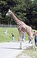 Longleat Safari Park, Warminster (290234) (9456540360).jpg