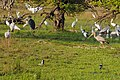 Lot of birds in Moremi Game Reserve - Botswana - panoramio.jpg