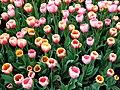 Lots O Tulips (70694217).jpeg