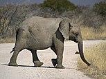 Loxodonta africana - crossing.jpg