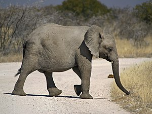 African Elephant crossing the road near Goas w...
