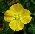 Ludwigia octovalvis – Mexican Primrose-willow. Onagraceae - Flickr - gailhampshire.jpg