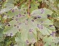 Lumbar plant acerleaf sick.jpg