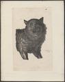 Lupus orientalis - 1700-1880 - Print - Iconographia Zoologica - Special Collections University of Amsterdam - UBA01 IZ22200347.tif