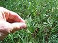 Luzula parviflora (22964125151).jpg