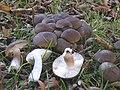 Lyophyllum decastes.jpg