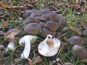 Büscheliger Rasling (Lyophyllum decastes)