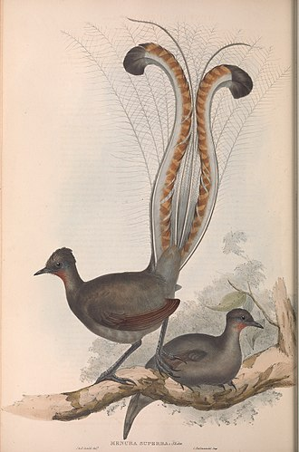 Lyrebird - John Gould's early 1800s painting of a superb lyrebird specimen at the British Museum