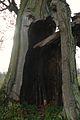 MOs810, WG 2014 66 Puszcza Notecka west (Quercus robur, Lipki Male, monument (5).JPG