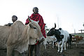 Maasai father and son tend their cattle.jpg